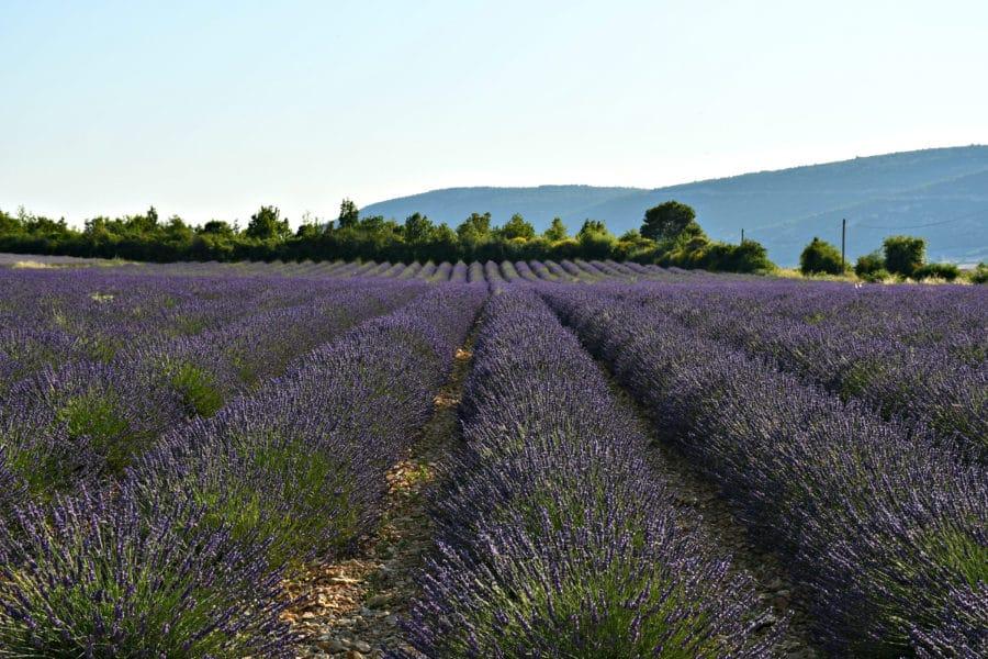 Dove vedere la fioritura della lavanda_provenza_sault