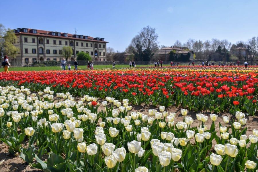 Tulipani_Italiani_fioritura 2019_Arese