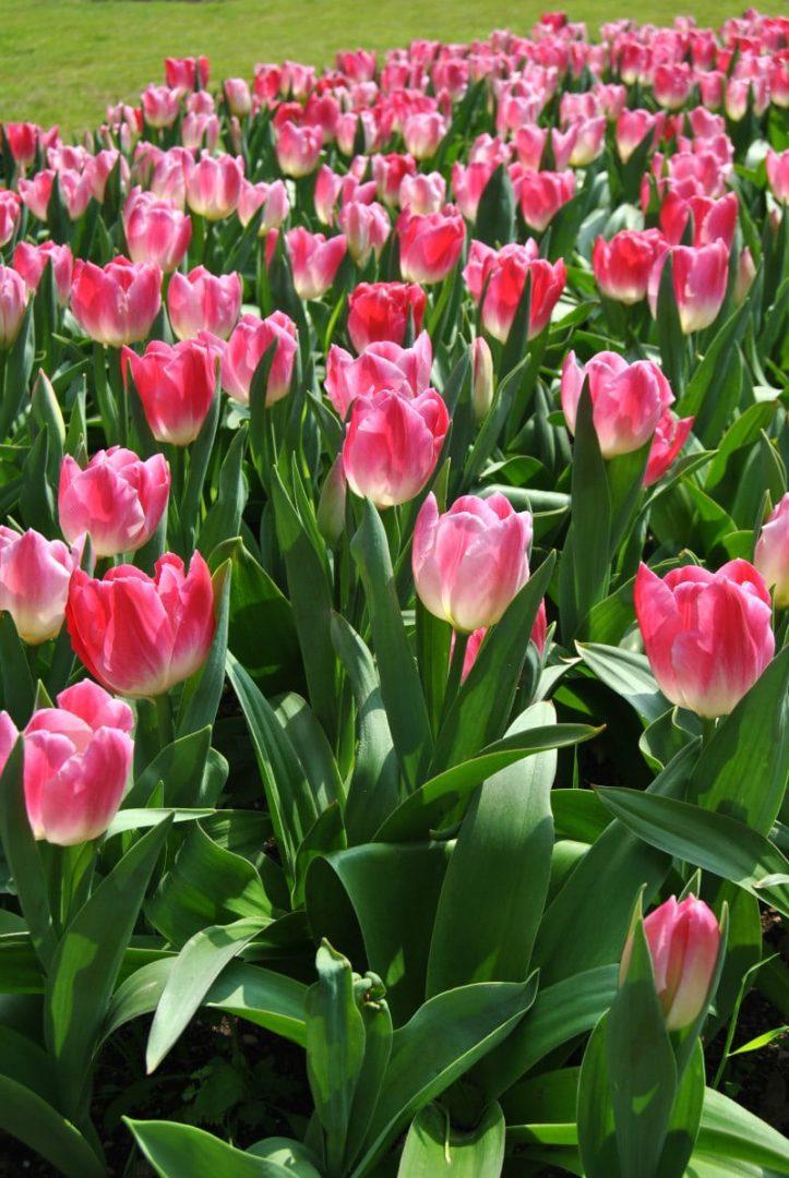 Tulipani_Parco Sigurtà