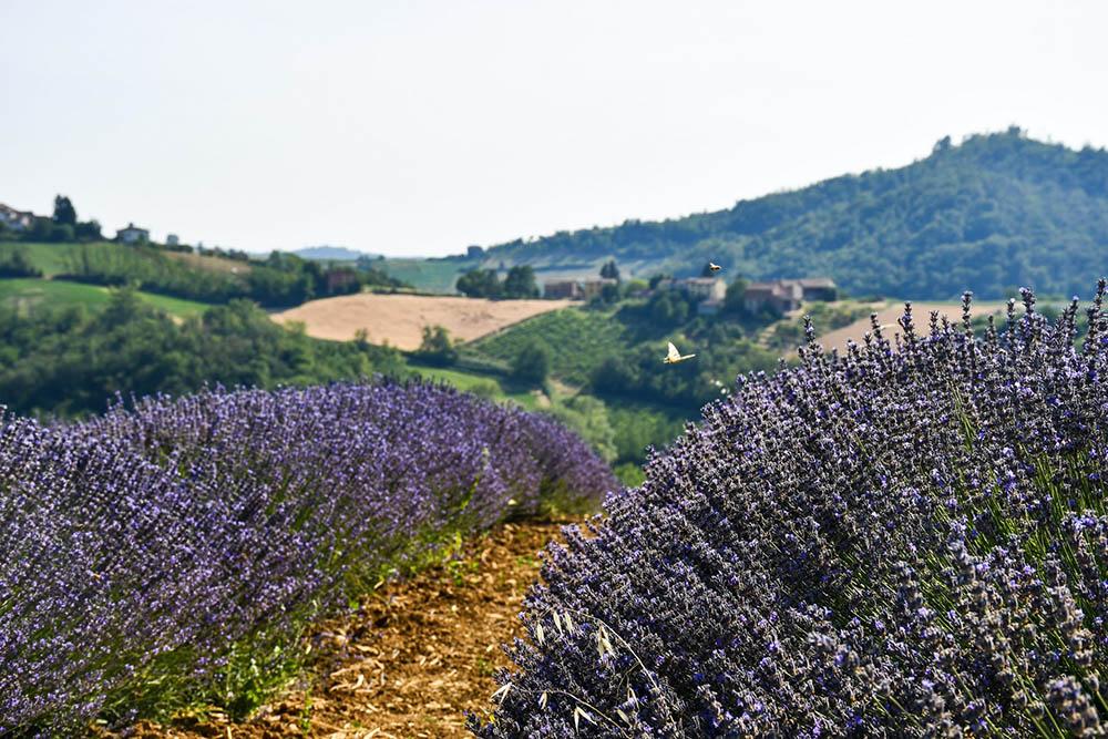 Campi di lavanda in Italia: ecco i più belli da Nord a Sud