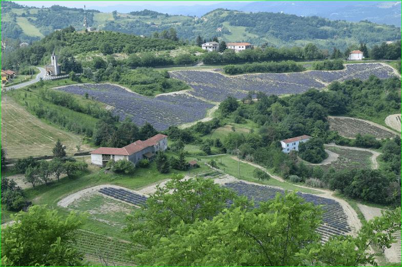 Fioritura della lavanda in Piemonte a Castelletto d'Erro