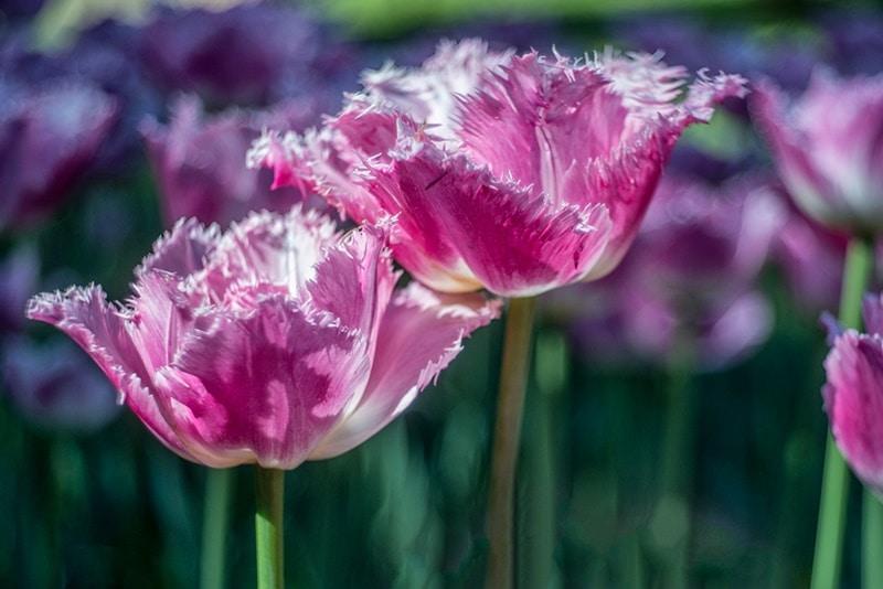 parco sigurta tulipanomania 2018