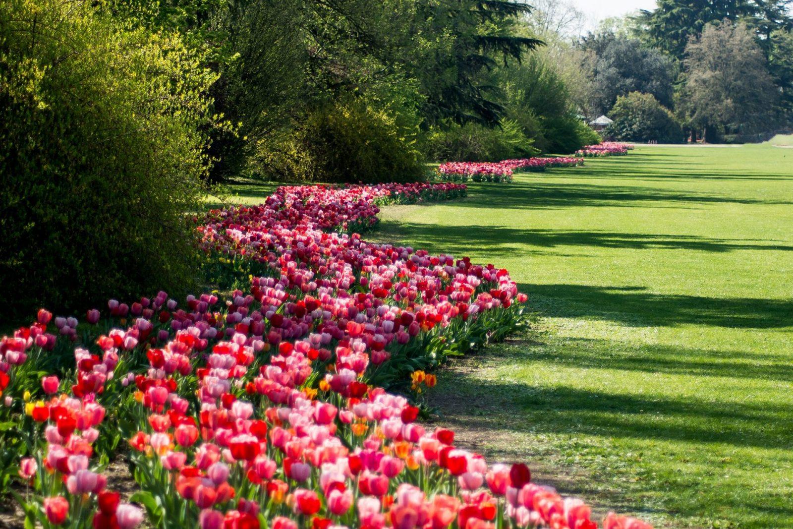 tulipanomania sigurta 2018